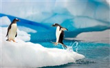 Title:Antarctic continent penguin animal wallpaper 08 Views:537