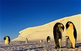 Title:Antarctic continent penguin animal wallpaper 10 Views:559