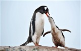 Title:Antarctic continent penguin animal wallpaper 11 Views:510
