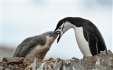Title:Antarctic continent penguin animal wallpaper 12 Views:496