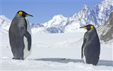 Title:Antarctic continent penguin animal wallpaper 13 Views:588