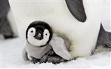 Title:Antarctic continent penguin animal wallpaper 14 Views:588