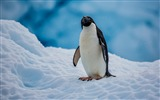 Title:Antarctic continent penguin animal photo wallpaper Views:313