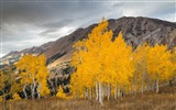 Title:Aspen trees in the fall-Nature HD Wallpaper Views:955