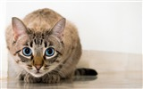 Title:Cat blue eyed glance-High Quality HD Wallpaper Views:762