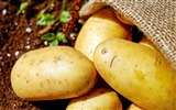 Title:Harvest potatoes soil vegetables-Life Close-up Photo HD Wallpaper Views:846
