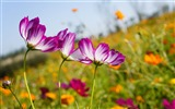 Title:Kosmeya flowers meadow-High Quality HD Wallpaper Views:766