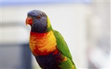 Title:Parrot bird colorful-High Quality HD Wallpaper Views:551