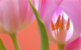 Title:Pink tulips-2017 Flowers HD Wallpaper Views:755
