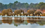 Title:Zambia Elephants crossing Luangwa River-2017 Bing Desktop Wallpaper Views:475