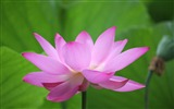 Title:Blooming Pink Lotus Photo Desktop Wallpaper Views:769