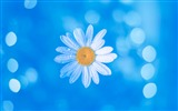 Title:Chamomile Blue Bokeh-2017 High Quality Wallpapers Views:542