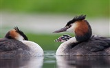 Title:Great crested grebe with chick-2017 Bing Desktop Wallpaper Views:541