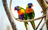 Title:Parrot pair-2017 High Quality Wallpaper Views:693