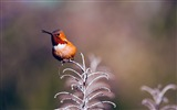 Title:Rufous hummingbird perched twig-Spring Bird Photo Wallpaper Views:70