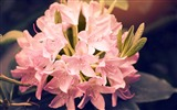 Title:Beautiful pink rhododendron flowers-2017 Spring Photo HD Wallpaper Views:642