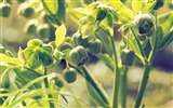 Title:Hellebore buds stems-High Quality Wallpaper Views:1098