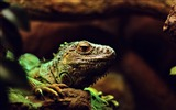 Title:Iguana lizard reptile-High Quality Wallpaper Views:1031