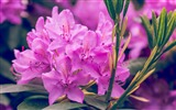 Title:Purple rhododendron flower-2017 Spring Photo HD Wallpaper Views:510
