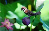 Title:Sparrow lily flowers bird-High Quality Wallpaper Views:365
