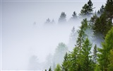Title:Conifer forest mist rainy day-Scenery HD Wallpaper Views:103