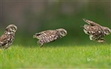 Title:A little owl hunting on the ground-2017 Bing Desktop Wallpaper Views:364