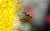Title:Bee collecting pollen-2017 Animal Wallpaper Views:75