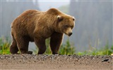 Title:Big brown bear-2017 Animal Wallpaper Views:151