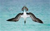 Title:Blue footed booby-2017 Animal Wallpaper Views:102