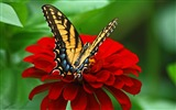 Title:Butterfly red flower-2017 Animal Wallpaper Views:125
