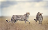 Title:Cheetah wildlife-2017 Animal Wallpaper Views:123
