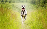 Title:Dalmatian breed dog-2017 Animal Wallpaper Views:108