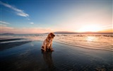 Title:Dog dusk beach seashore-2017 Animal Wallpaper Views:122