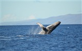 Title:Humpback whale-2017 Animal Wallpaper Views:112
