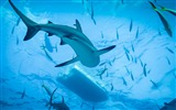 Title:Swimming with sharks-2017 Animal Wallpaper Views:122