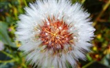 Title:Dandelion down flower-High Quality Wallpaper Views:61