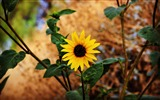Title:Sunflower stem leaves blur-High Quality Wallpaper Views:83